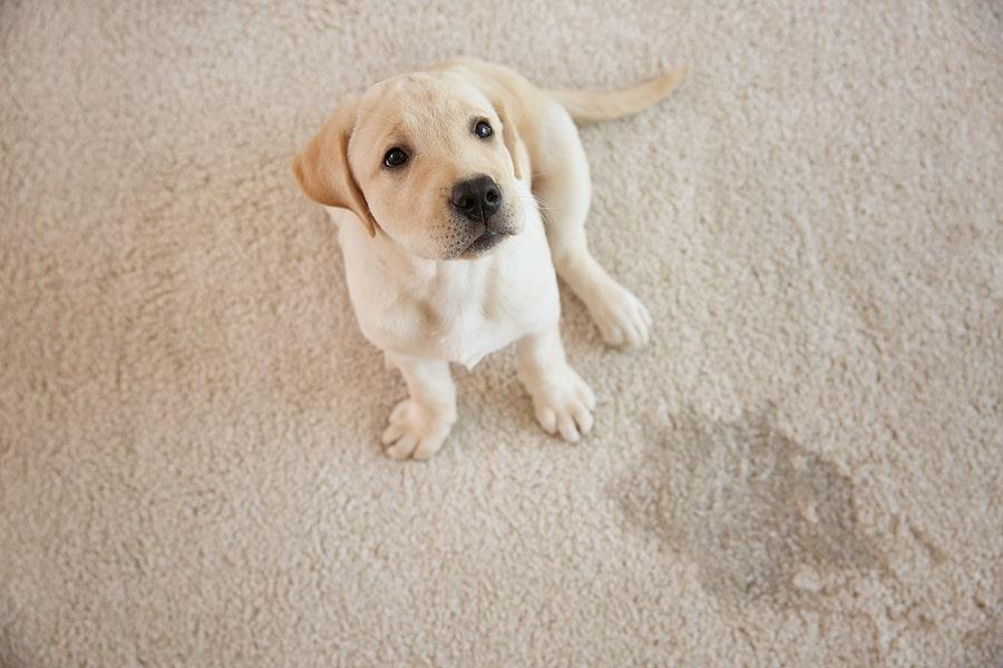 Pet Urine Smells Carpet